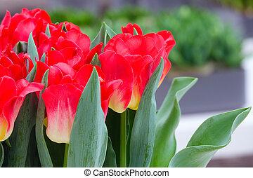 Beautiful red tulips closeup