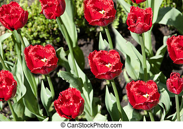 Beautiful red Tulips closeup. Spring background.