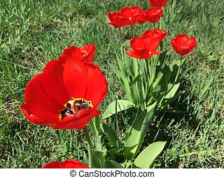 red tulips grow in the garden on