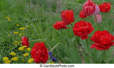Beautiful, red tulips growing in a field in the wind. Slow motion