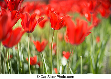 Beautiful red tulips in field in spring.