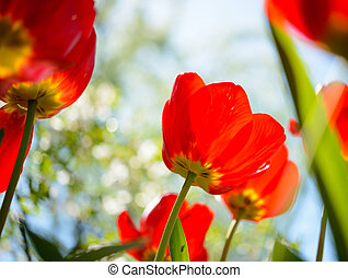 Beautiful Red Tulips in Field under Blurred Background
