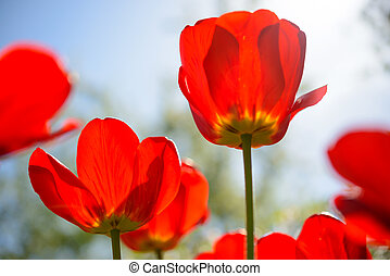 Beautiful Red Tulips in Field under Spring Sky in Bright Sunlight