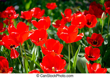 Beautiful Red Tulips in the Field