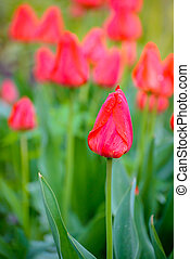 Beautiful Red Tulips in the Field. Spring Flowers