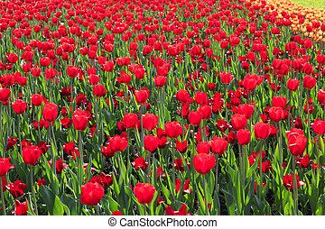Beautiful red tulips nature background