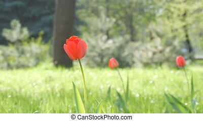 Beautiful red tulips on background of green spring grass in a forest park