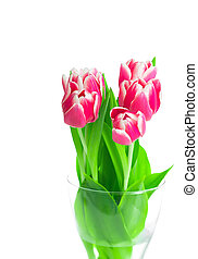 Beautiful red tulips on white background