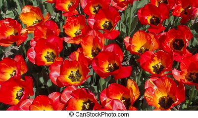 Beautiful red tulips.