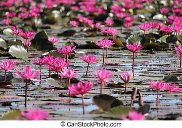red water lily flower in the pond