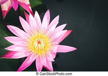 Beautiful red water lily or lotus flower