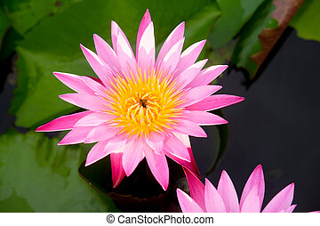 Beautiful red water lily or lotus flower in pond