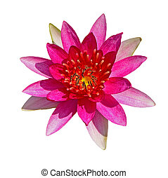 waterlily - Beautiful red waterlily, isolated on a white...