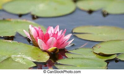 Beautiful red waterlily