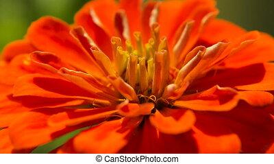 Beautiful red wildflower. - Closeup on beautiful red...