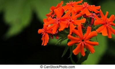 Beautiful red wildflower - Closeup on beautiful red...