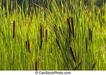 reeds - beautiful reeds