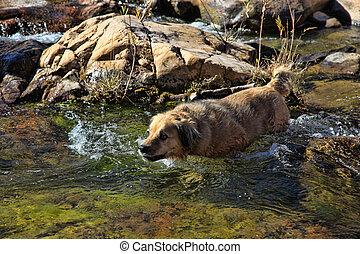 Beautiful Retriever in Stream