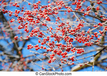 beautiful rime on winter tree with red berries
