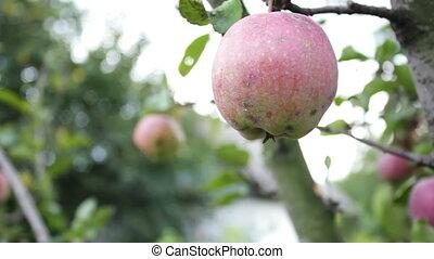 Beautiful ripe juicy red apple on a tree branch