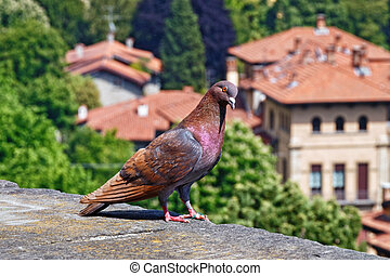 Beautiful rock dove on the view point with view of the historical buildings of Bergamo.