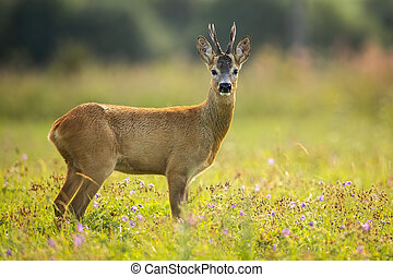 Beautiful roe deer standing in the middle of the summer wildflower field
