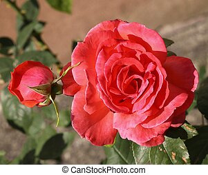 Beautiful romantic roses