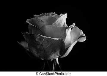 Beautiful rose. Balck and white - The most famous flowers,...