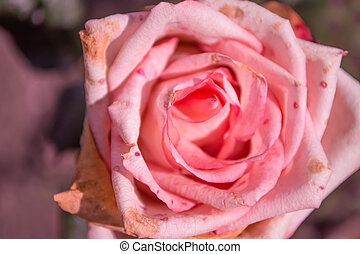Beautiful rose closeup. Beauty and nature