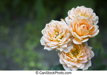 Beautiful rose flowers are pastel colors in the summer garden with dew drops. Selective focus