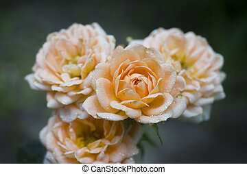 Beautiful rose flowers are pastel colors in the summer garden with dew drops. Selective focus.
