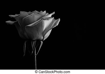 Beautiful rose. in balck and white. Close up - The most...
