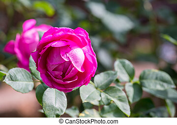 Beautiful rose in garden on summer day.