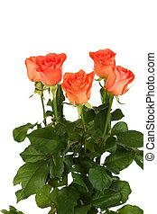 Beautiful rose on white background