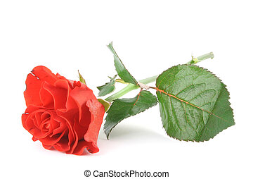 beautiful rose on wh