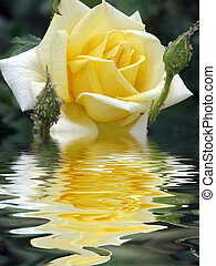 rose - Beautiful rose