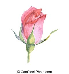 beautiful rose watercolor hand-painted isolated on white...