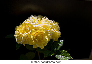 Beautiful rose with a black background