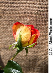 Beautiful rose with canvas background
