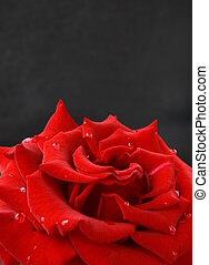 beautiful rose with water drops