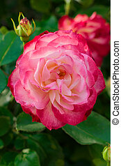 Beautiful roses garden. Close up of blooming pnk rose flower...