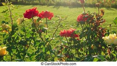 Beautiful roses in garden backlit, set of shots.