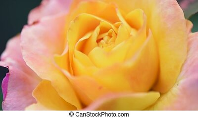 Beautiful roses in garden - Beautiful bright yellow rose in...