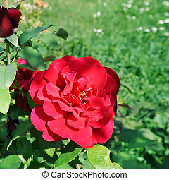Beautiful roses in summer garden .