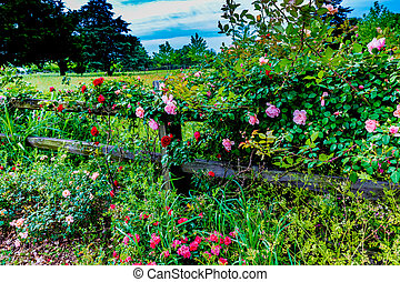Beautiful Roses on an Old Texas Wooden Fence