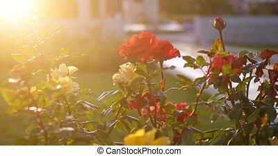 Beautiful roses on autumn decay natural backgroundbacklit...