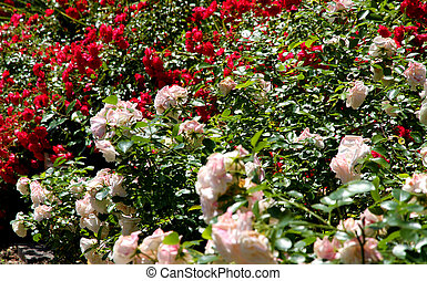 red roses and white roses on the driveway of the garden of the v