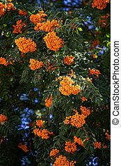 beautiful rowan-tree with orange berry. background