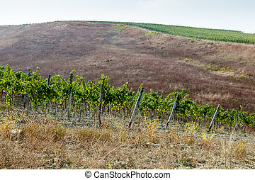 Beautiful Rows of Brunello Grapes in a Vineyard in Montalcino, Tuscany, Italy