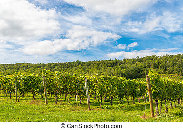Beautiful rows of grapes before harvesting